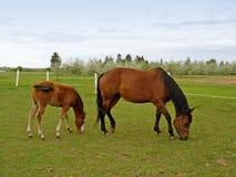 Égua & potro Imagem de Stock