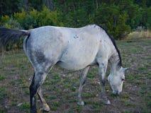Égua cinzenta Foto de Stock Royalty Free