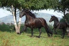 Égua com o potro que corre no outono imagens de stock