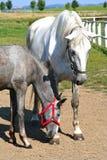 Égua com potro Foto de Stock