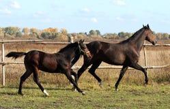 Égua com potro Imagem de Stock Royalty Free