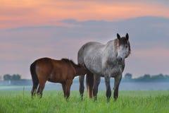 Égua com potro Imagem de Stock
