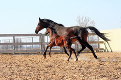 Égua com potro Fotografia de Stock Royalty Free