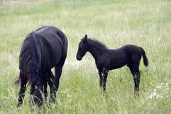 Égua com potro preto imagens de stock royalty free