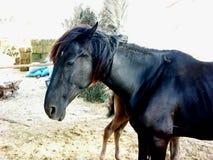 Égua com um potro em uma jarda em Marrocos Imagens de Stock Royalty Free