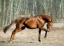 Égua da castanha com sombra imagem de stock