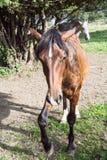 Égua da castanha com sombra Imagens de Stock