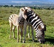 Égua de afago do potro da zebra das planícies proximamente em Addo Elephant National Park Imagens de Stock