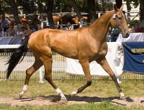 Égua de Akhal-Teke Fotos de Stock