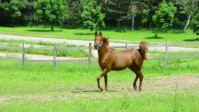 Égua de Asil Arabian que trota e que galopa no pasto vídeos de arquivo