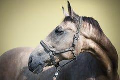 Égua de Kinsky Fotografia de Stock