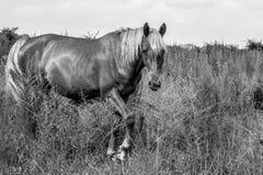 Égua de Shetland fotos de stock royalty free