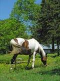 Égua do Arabian do Pinto Imagens de Stock
