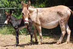 Égua do asno com o potro na exploração agrícola Fotografia de Stock Royalty Free
