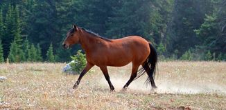 Égua do cavalo selvagem da baía no cume de Sykes na escala do cavalo selvagem das montanhas de Pryor em Montana EUA Fotos de Stock Royalty Free