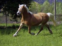 égua do haflinger Imagem de Stock