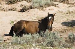 Égua do mustang Foto de Stock Royalty Free