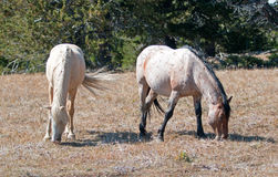 Égua do Palomino e vermelho Roan Stallion que pasta junto em Tillett Ridge na escala do cavalo selvagem da montanha de Pryor em M Foto de Stock Royalty Free