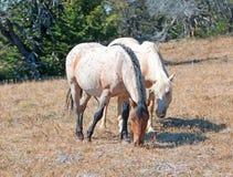 Égua do Palomino e vermelho Roan Stallion que pasta junto em Tillett Ridge na escala do cavalo selvagem da montanha de Pryor em M Imagem de Stock Royalty Free