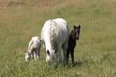 égua e dois potros Fotos de Stock