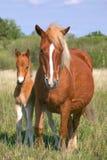 Égua e filho Imagem de Stock Royalty Free