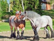 Égua e garanhão da raça de Brabante Fotos de Stock Royalty Free