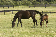 Égua e jovem corça foto de stock