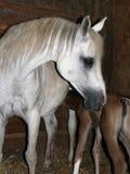 Égua e potro árabes fotos de stock royalty free