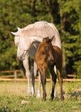 Égua e potro árabes Imagens de Stock Royalty Free