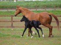 Égua e potro Imagens de Stock
