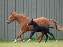 Égua e potro Imagens de Stock Royalty Free