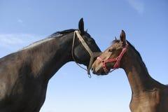 Égua e potro Foto de Stock
