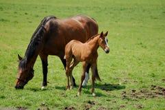 Égua e potro 2 Foto de Stock Royalty Free