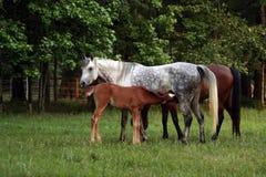 Égua e potro Fotos de Stock