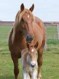 Égua e potro Imagem de Stock Royalty Free