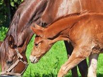 Égua e potro Fotografia de Stock
