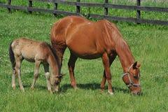 Égua e potro. Fotos de Stock