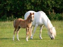 Égua e potro bonitos Foto de Stock Royalty Free