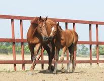 Égua e potro da castanha Fotos de Stock