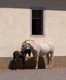 Égua e potro de Lipizzaner Foto de Stock