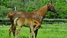 Égua e potro do cavalo de Asil Arabian vídeos de arquivo