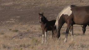 Égua e potro do cavalo selvagem em Utá video estoque