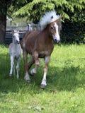 égua e potro do haflinger Imagem de Stock Royalty Free