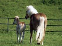 égua e potro do haflinger Foto de Stock Royalty Free