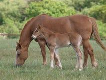 Égua e potro do perfurador do Suffolk Foto de Stock Royalty Free