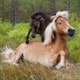 Égua e potro em Lojsta Hed, Sweden Foto de Stock Royalty Free