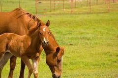 Égua e potro no pasto Fotos de Stock