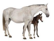 Égua e seu potro, 14 anos velhos e 20 dias velho Fotografia de Stock Royalty Free