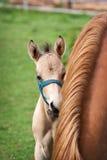 Égua e seu potro Foto de Stock Royalty Free