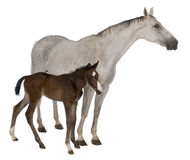 Égua e seu potro, estando Imagens de Stock Royalty Free